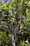 Marlberry (Ardisia escallonioides) Center Stalk Branches
