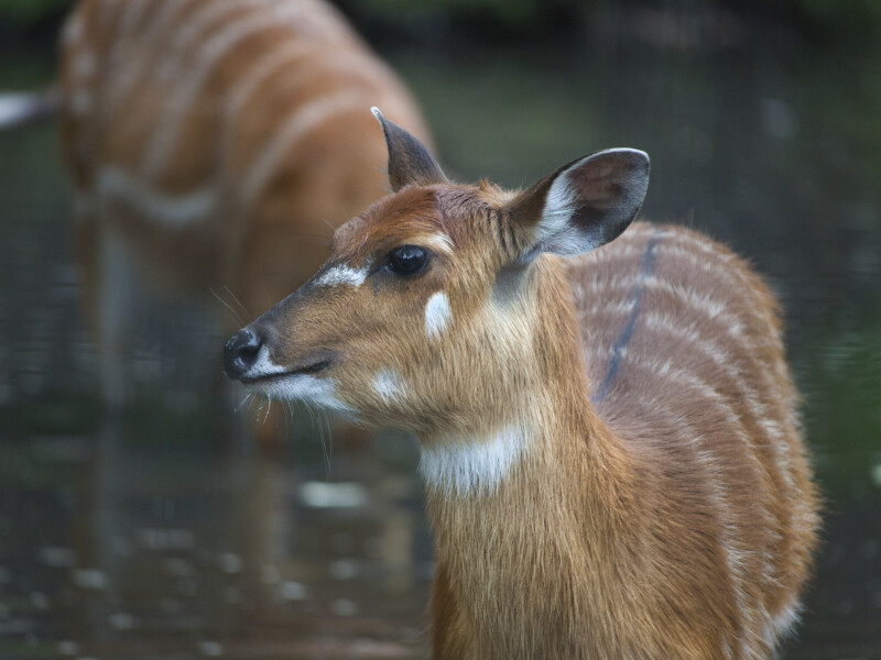 Marshbuck Close-Up