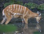 Marshbuck Drinking Water at the Artis Royal Zoo