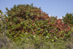 Mass of Sea Grape Plants