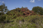 Mass of Sea Grape Trees Growing Amongst other Plants at Biscayne National Park