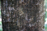 Mastic Tree Bark
