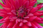 """Mathilde Houston"" Dahlia Flower"