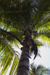 """Maypan"" Coconut Palm"