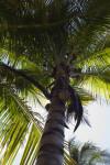 """Maypan"" Coconut Palm"