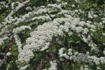 Meadowseet Flower Clusters