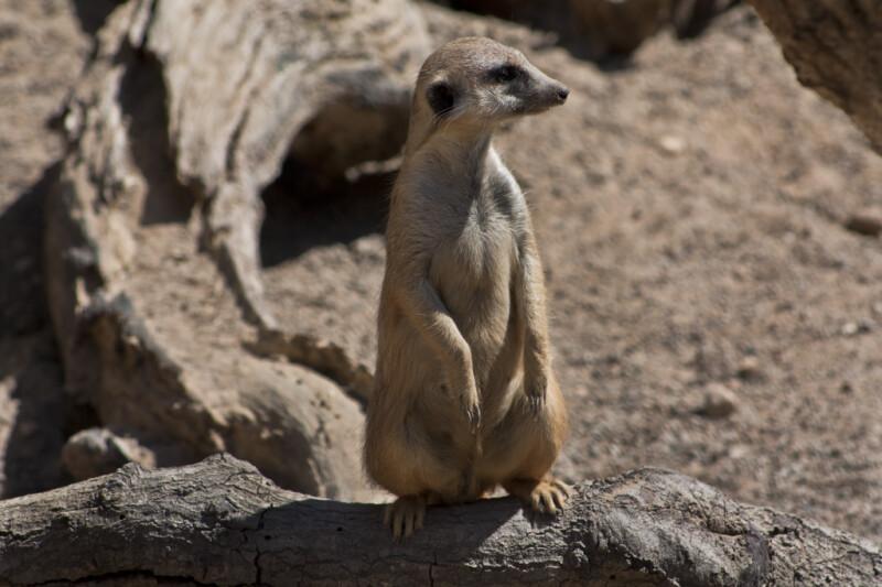 Meerkat on Branch