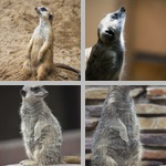 Meerkats photographs