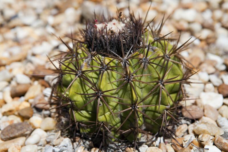 Melocactus curvispinus