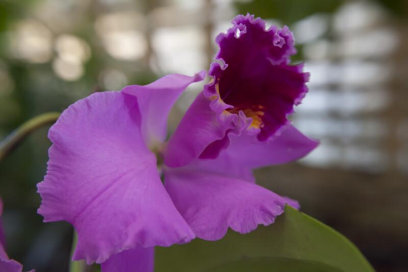 Memoria Arie Heerema Orchid
