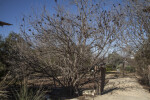 Mexican Buckeye Trees at the San Antonio Botanical Garden