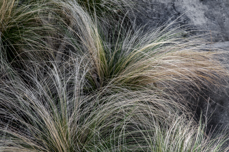 Mexican Feather Grass at the San Antonio Botanical Gardens
