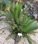Mexican Sago Palm