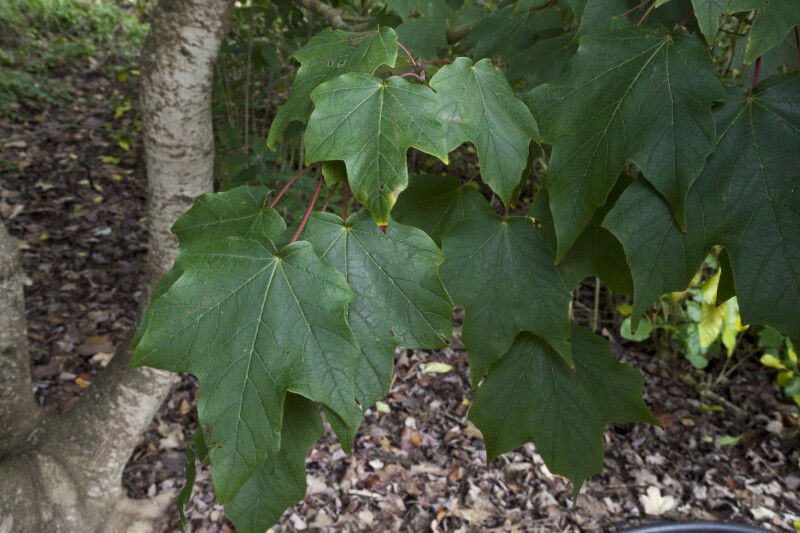 Mexican Sugar Maple Leaves