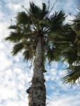 Mexican Washingtonia