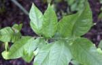 Meyer Lemon Leaves