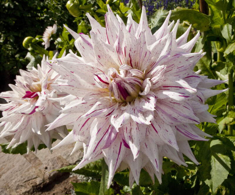 """Mick's Peppermint"" Dahlias"