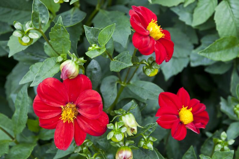 """""""Mignon Firebird"""" Hybrid Dahlia"""