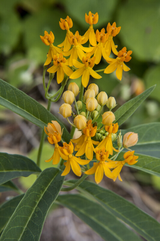 Milkweed Flowers and Buds
