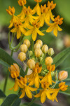 Milkweed Flowers and Buds Close-Up