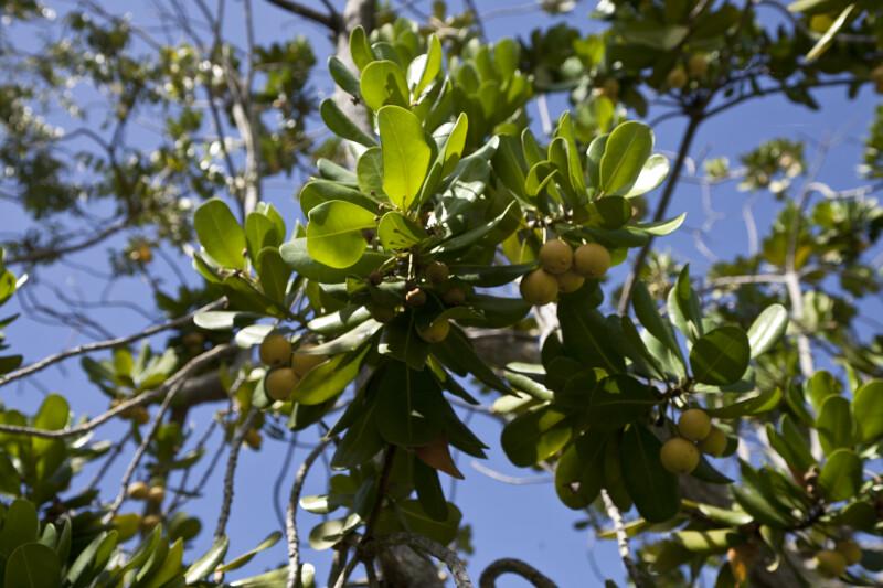 Mimusops balata Branches