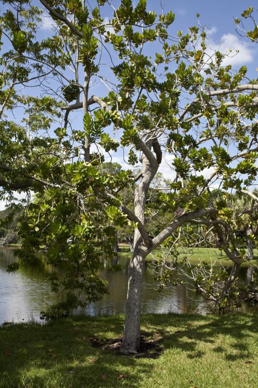 Mimusops balata Tree