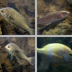 Misc Freshwater Fish photographs