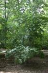 Mistletoe Honeysuckle Tree at the Arnold Arboretum of Harvard University