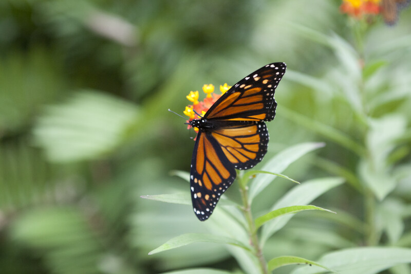 Monarch Butterfly at the Washington Oaks Gardens State Park