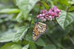 Monarch Butterfly Pollinating Pinkish Flower Buds of a Shrub