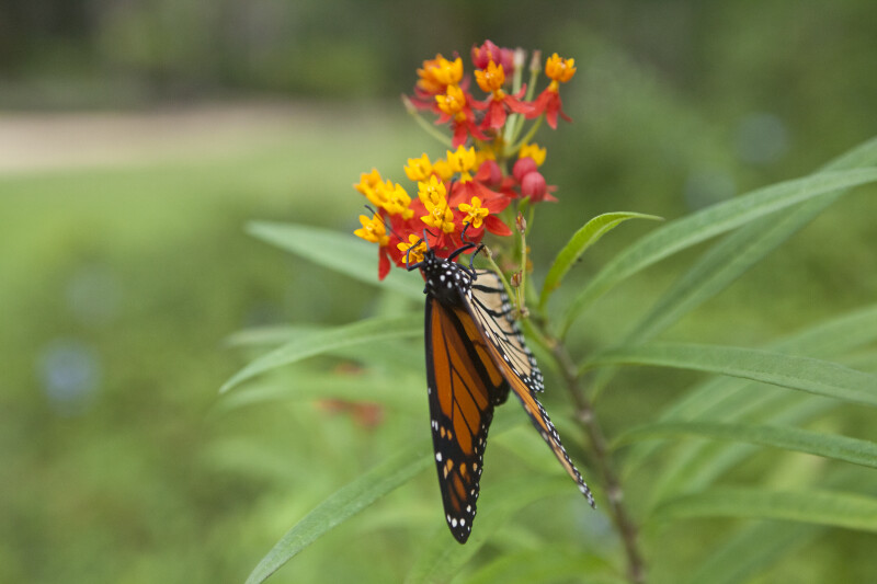 Monarch Butterfly Pollinating Red and Yellow Flowers