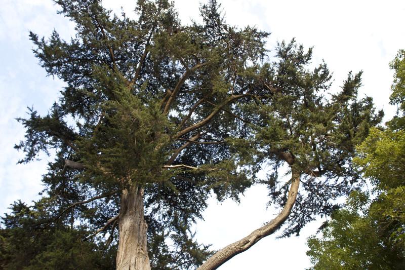 Monterey Cypress Branches