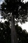 Monterey Cypress Tree Trunk