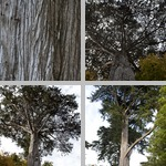 Monterey Cypress Trees photographs