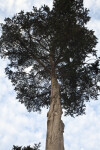 Monterey Cypress With Cut Branches