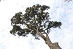 Monterey Pine Tree