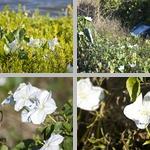 Moonflowers photographs