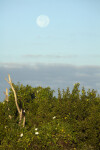 Moonflowers and Moon at Flamingo Campgrounds