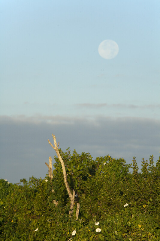 Moonflowers and Moon in Early Morning