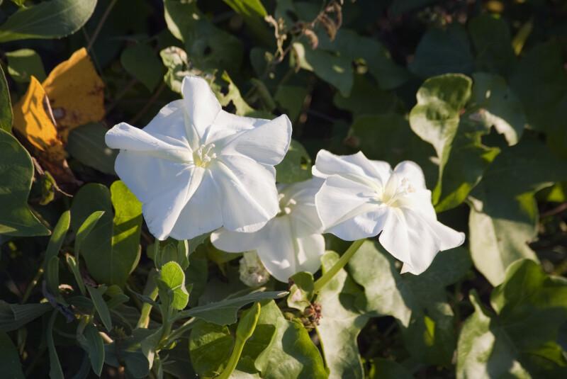 Moonflowers in Bloom
