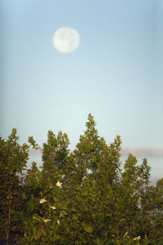 Moonflowers Under a Full Moon