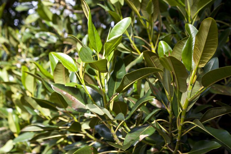 Moreton Bay Fig Leaves
