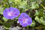 Morning Glory Flowers at Anhinga Trail of Everglades National Park