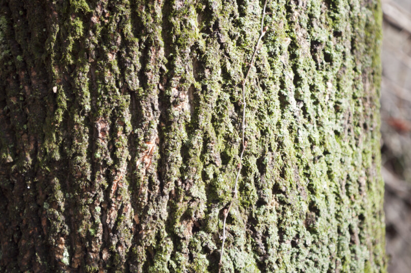 Moss and Small Vine on Tree Trunk