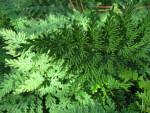 Moss Fern Close-Up