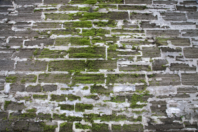 Moss Growing on a Coquina Wall