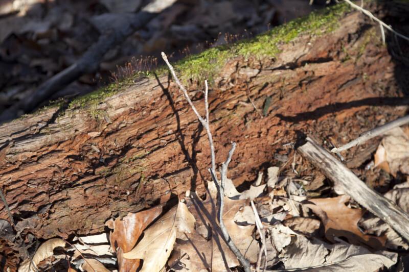 Moss Growing on a Nursery Log