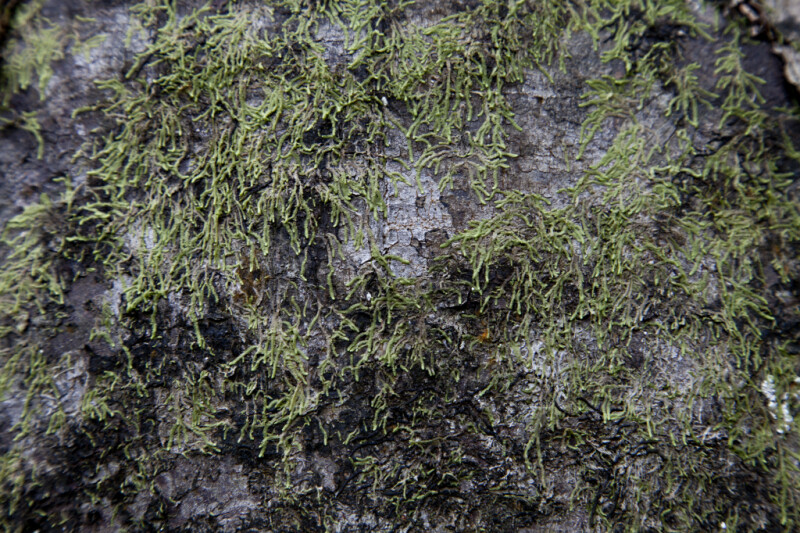 Moss Growing on Trunk of Tree Along Big Cypress Bend Boardwalk