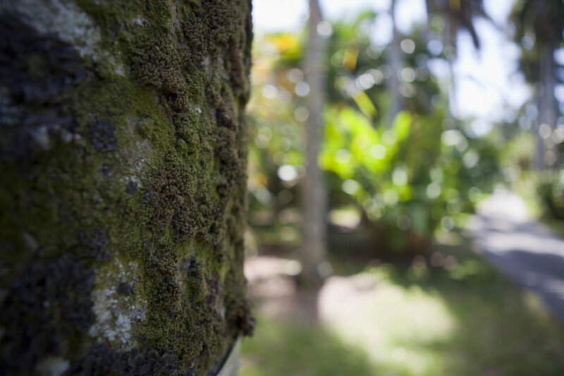 Moss on the Trunk of a Royal Palm