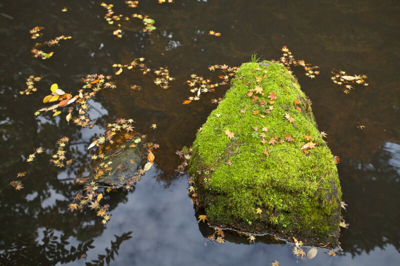 Mossy Rock in Water with Maple Leaves